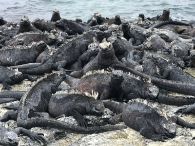 The Galapagos Report - Day Three - Lava Lizard Pileup!