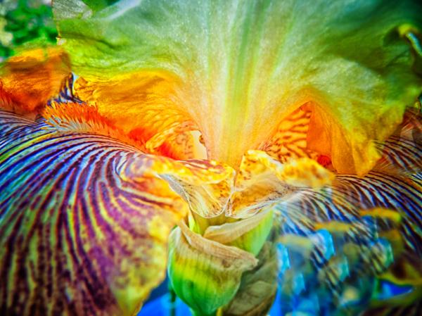 Large Iris