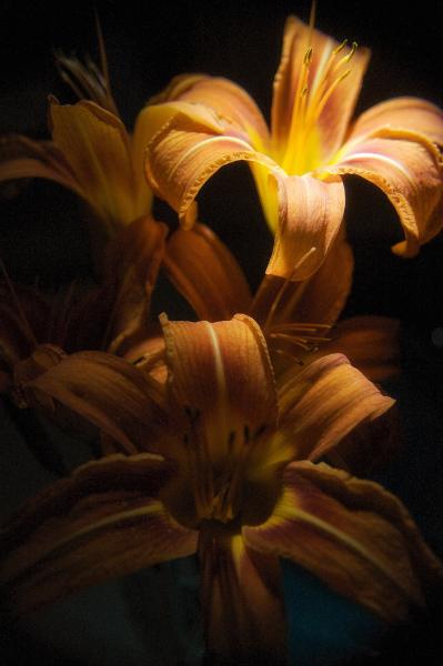 Illuminated Tiger Lilly 2