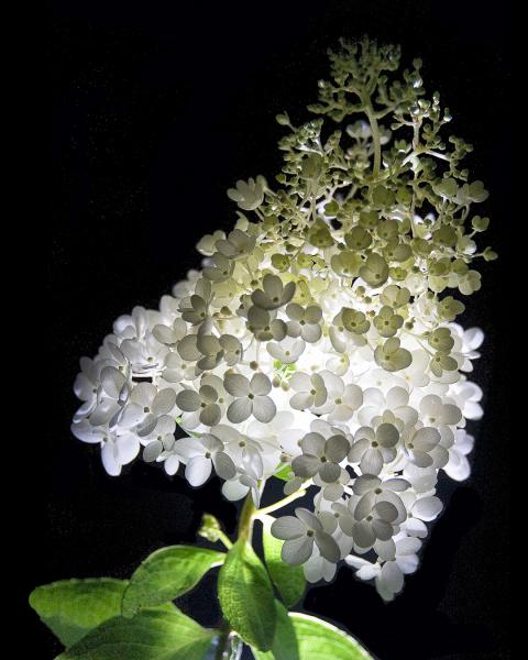 Illuminated Hydrangea