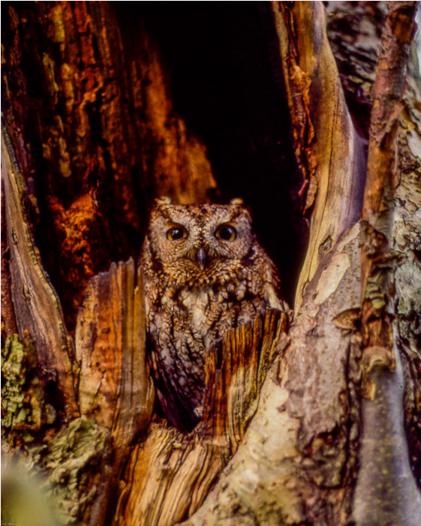 Screech Owl in Apple Tree