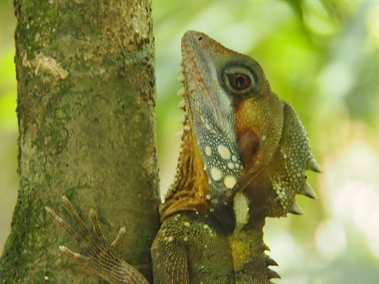 Lizard in Daintree Rainforest