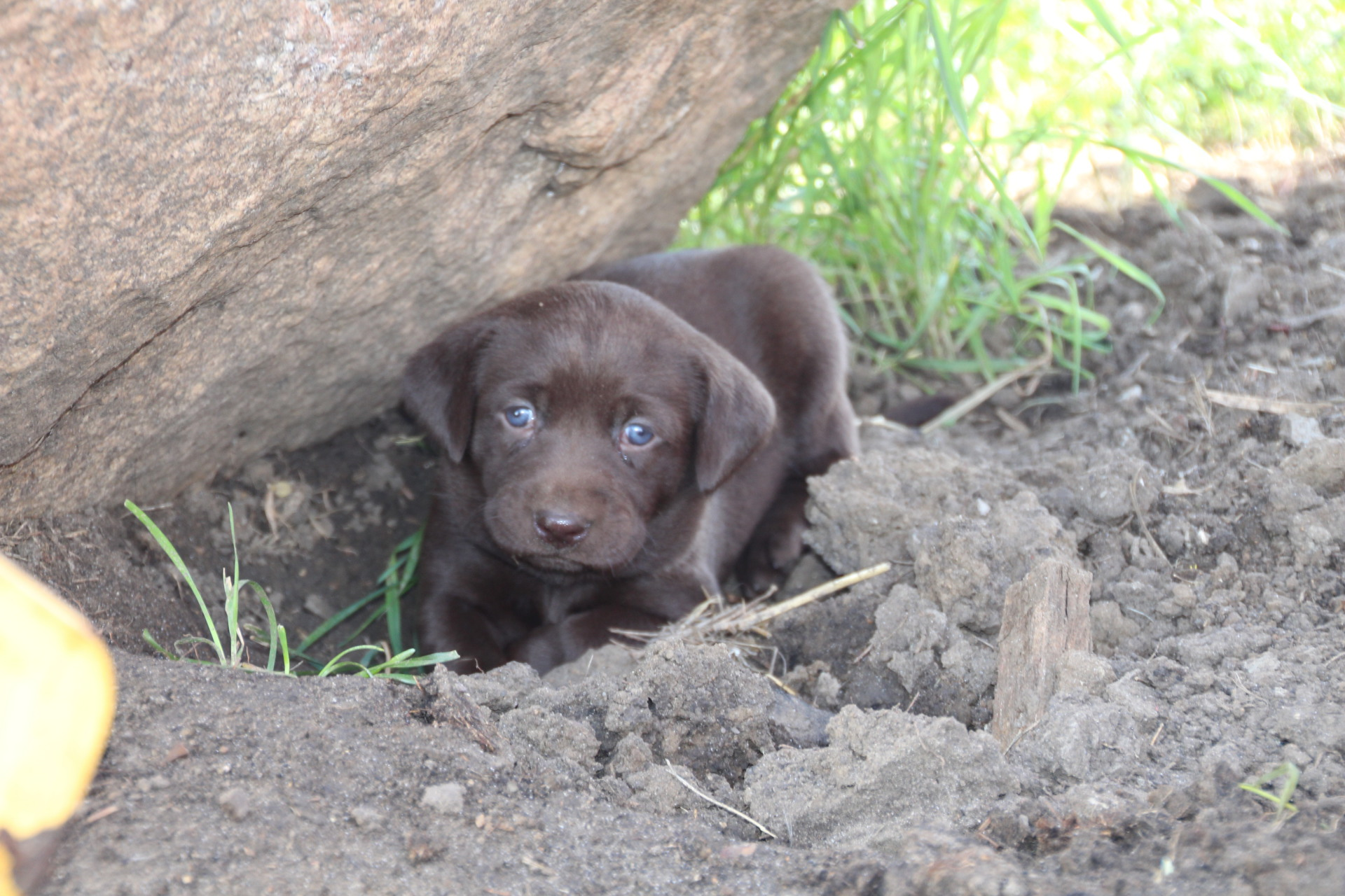 Chocolate Lab for Sale