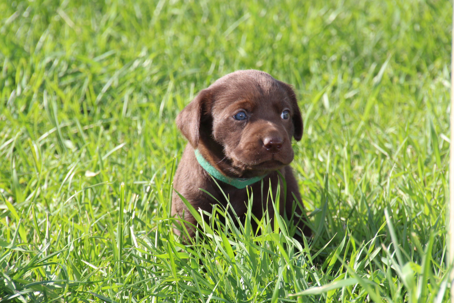 Chocolate Lab for Sale ND