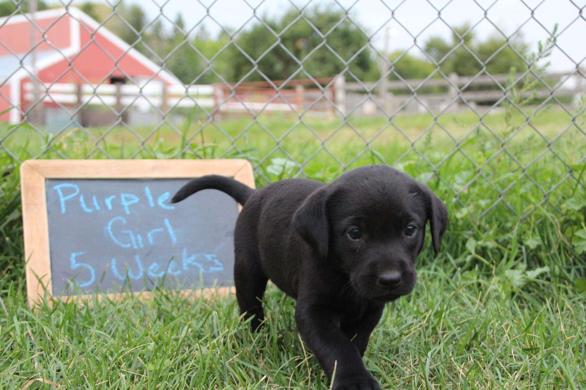 Black Labrador Retreiver