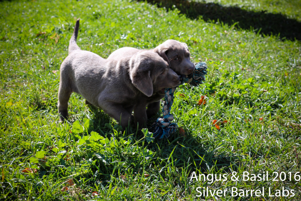 Silver Lab for Sale ND