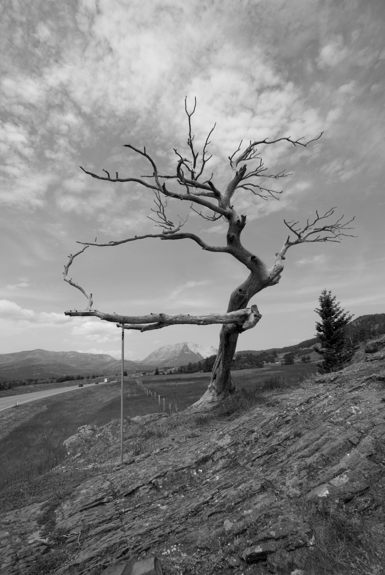 The Burmis Tree