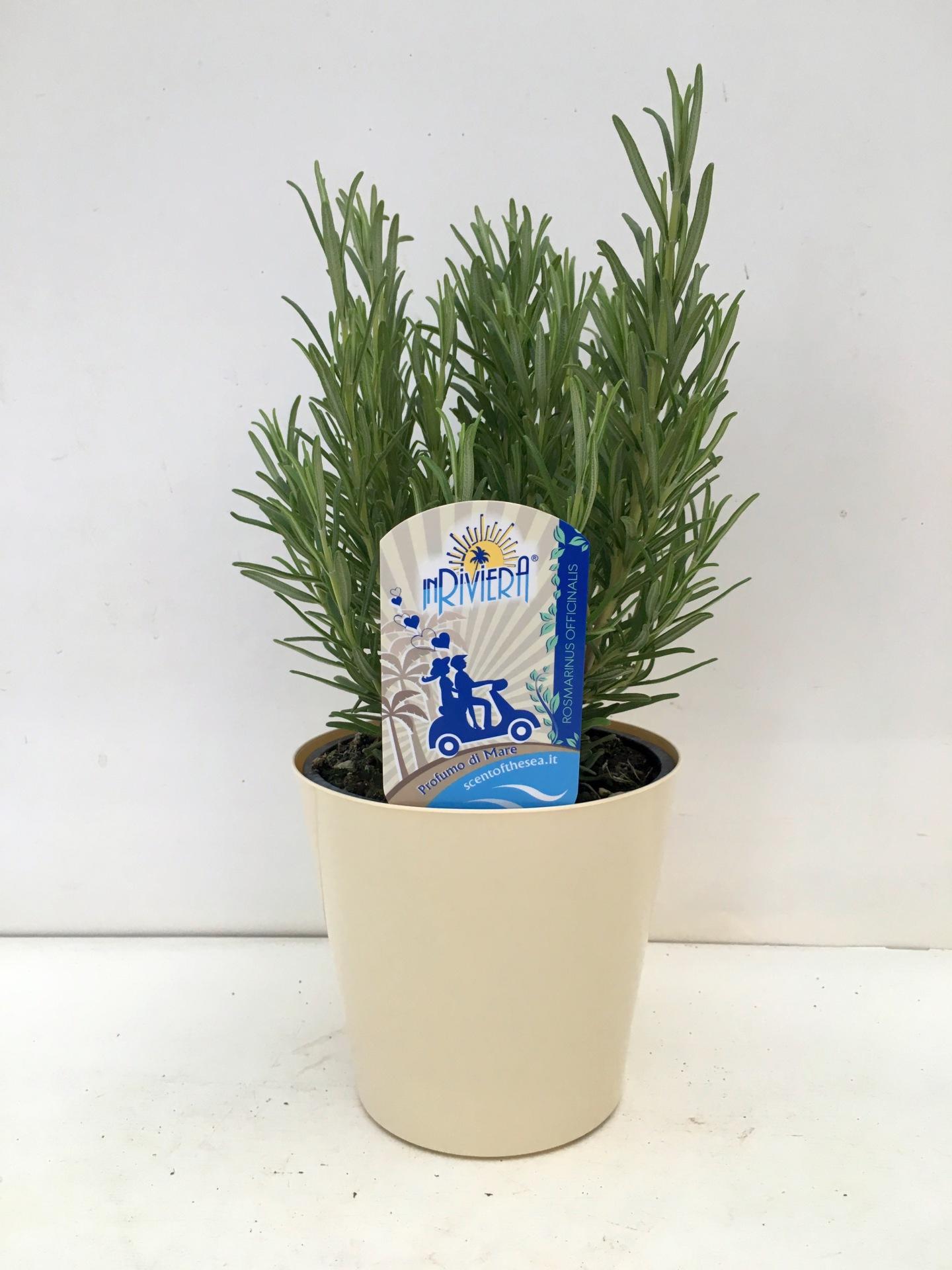 Rosmarinus officinalis vaso 14 cm
