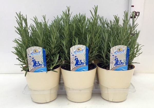 Rosmarinus officinalis vaso 14 pack x6