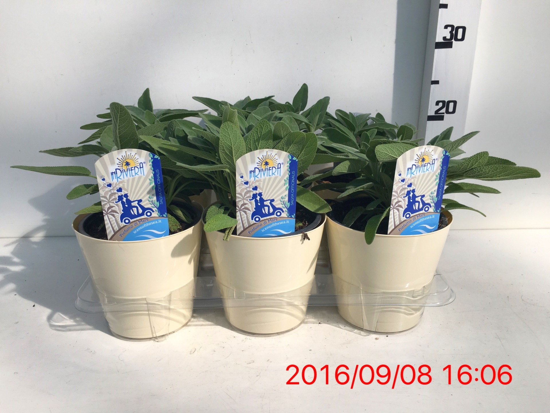 Salvia officinalis vaso 14