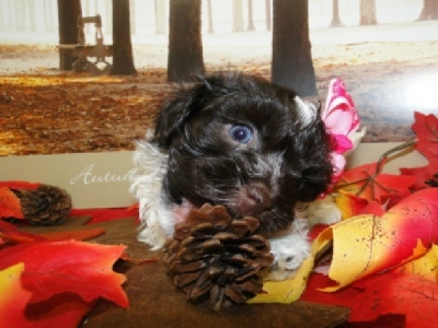 chocolate havanese puppies