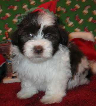 Chocolate Havanese Puppies for sale