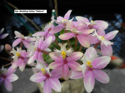 Here At Kawamoto Orchids We Sell Many Types Of Epidendrums