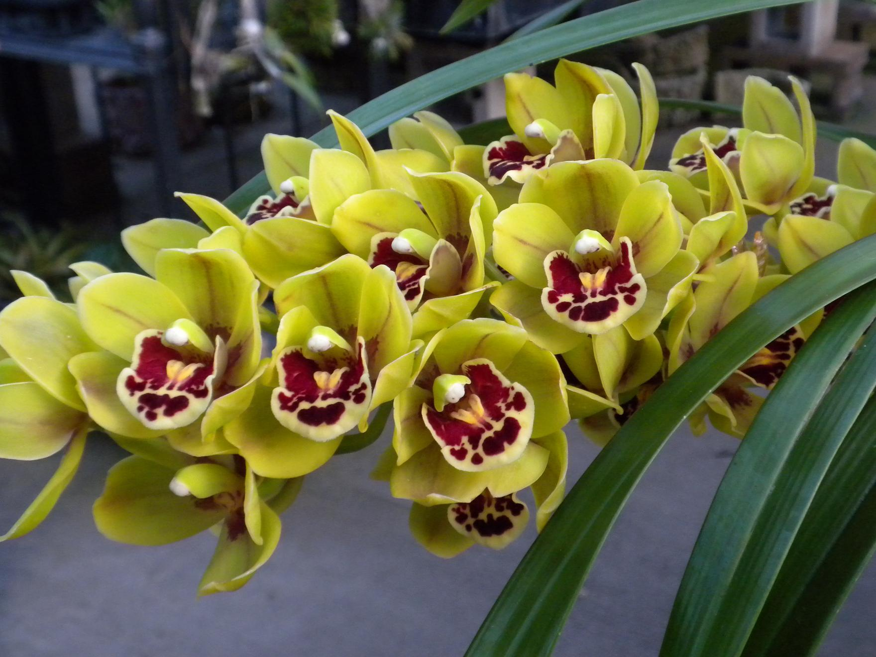 Orchid Care Tips By Kawamoto Orchid Nursery Some Useful