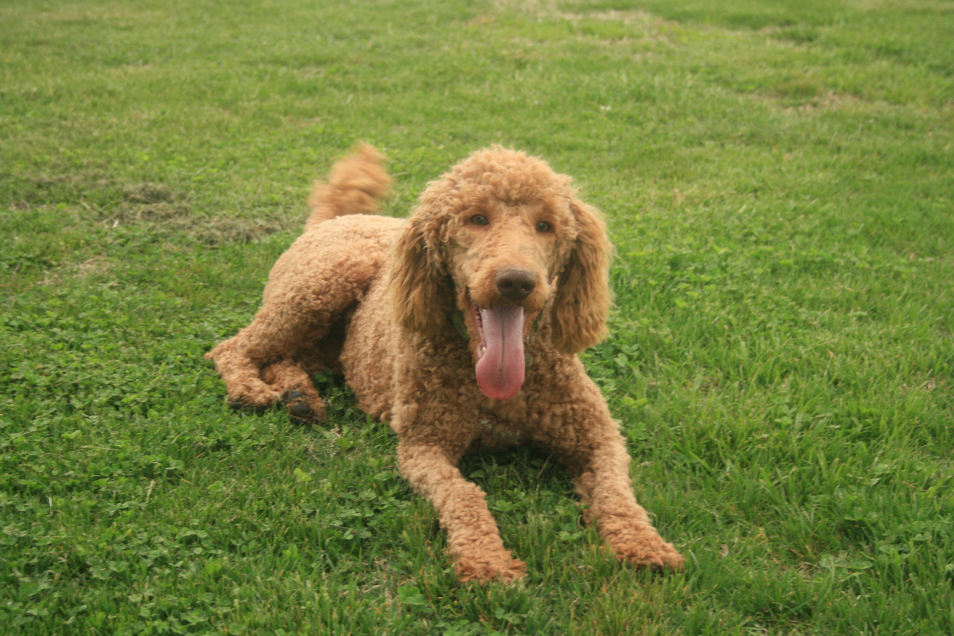 Why a Goldendoodle?