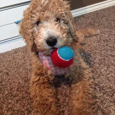 Goldendoodle Varieties