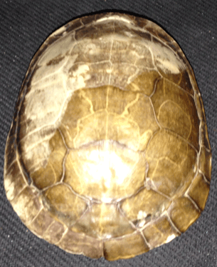 Tortoise, Turtle, Shell, Tortoise Shell,