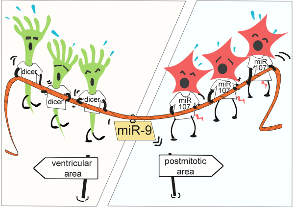 miR-107-dicer Interaction in Neurogenesis