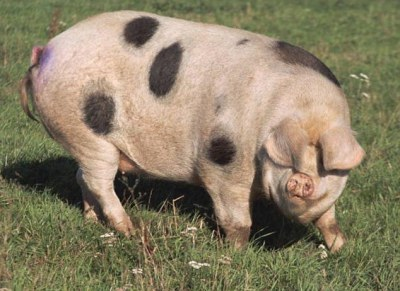 Old Gloucester Spot, one of the breeds at Flying Pigs Farm