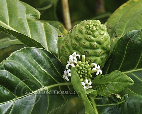 Duriam Fruit