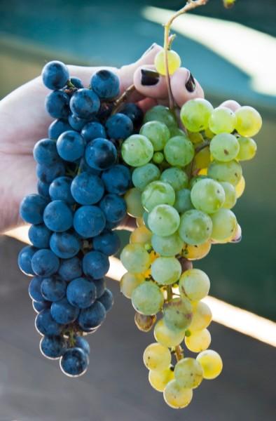 Maine Coast Grapes