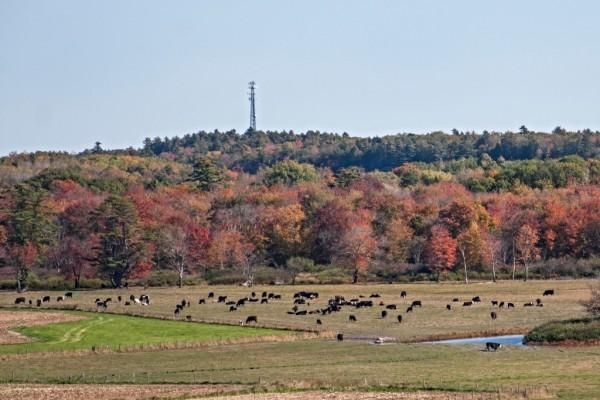 Cattle Pasture