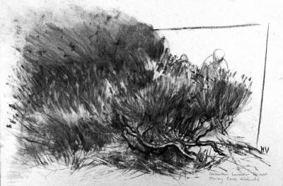 Carshalton Lavender Harvest, Stanley Road Allotments