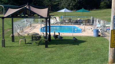Pool and Geese