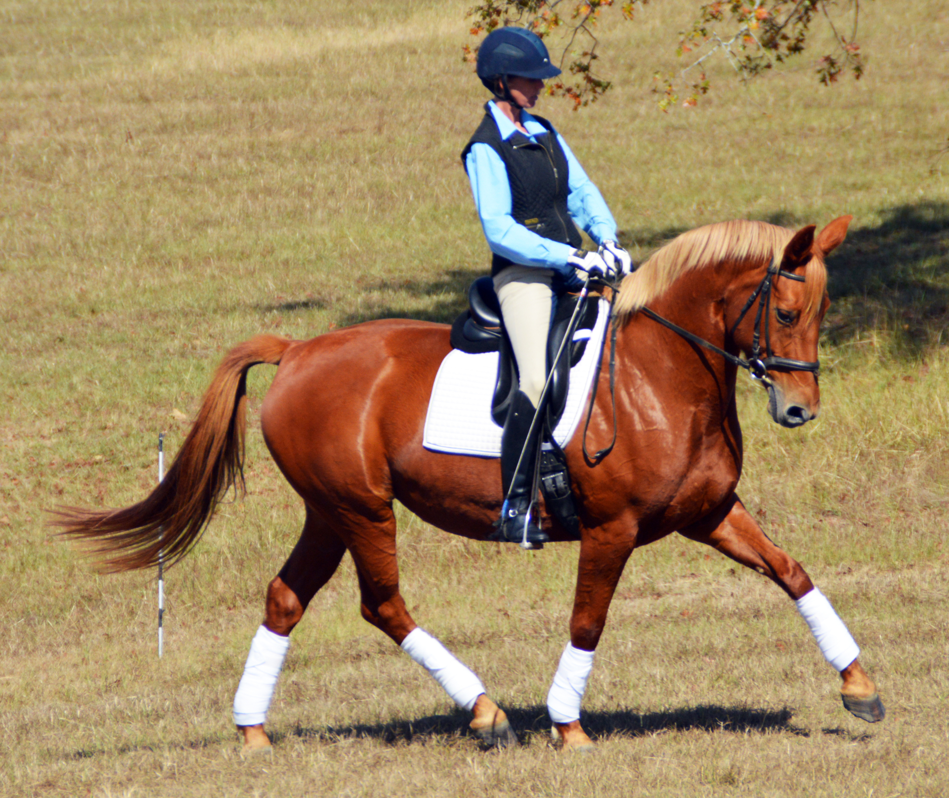 dressage horse for sale