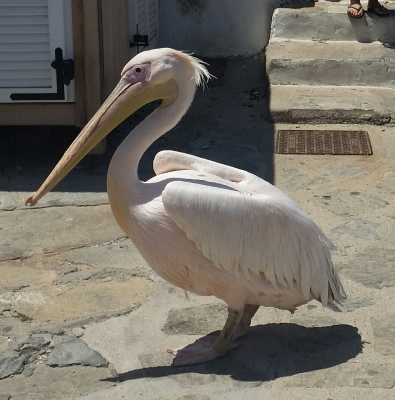 Irene - the amazing Pelican in Mykonos