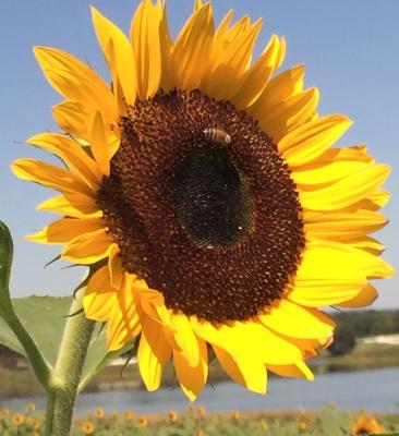 Honey Bee Photo Courtesy of Sweet Virginia Foundation