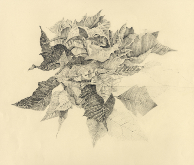 Study for Poinsettia