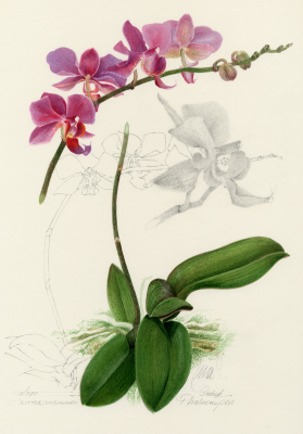 Phalaenopsis 'Little Cassandra'