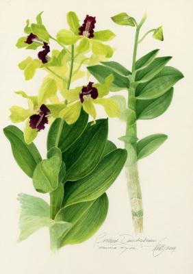 Orchid Dendrobium 'Emma Type'