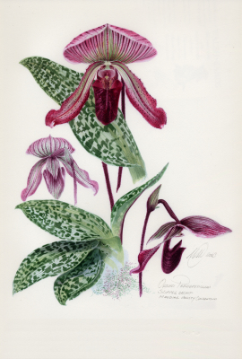 Slipper Orchid 'Maudea Coloratum'