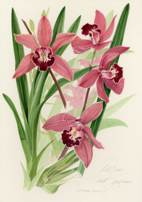 Orchid Cymbidium 'Cherry Beauty'