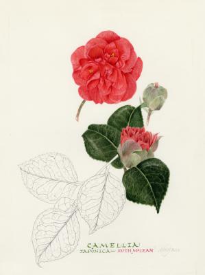 Camellia 'Ruth Mclean'