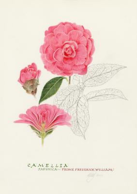 Camellia 'Prince Frederick William'