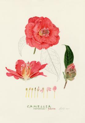 Camellia  'Faith'