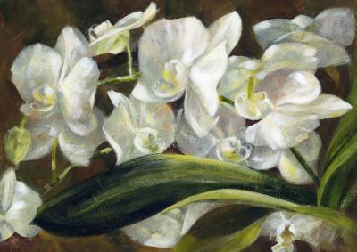 Orchid 'Phalaenopsis'