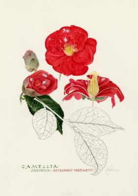 Camellia 'Astronaut Variogated'