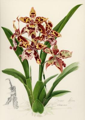 Orchid 'Colmanara'