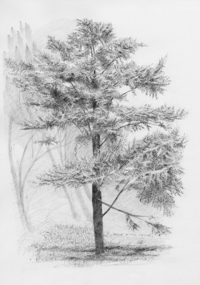 Study, Blue Atlas Cedar