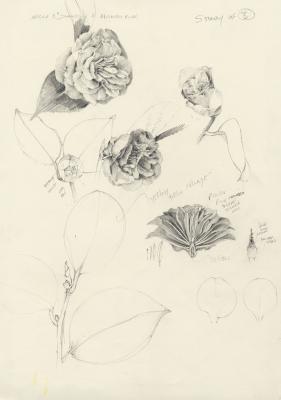 Study for Camellia