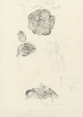 Study for Camellia 'Astronaut Variogated'