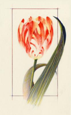 Tulip study, texture & shape