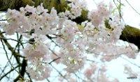 Cherry Blossoms, High Park, Sunday April 30 2017