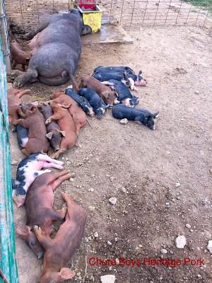 Crossbred Pigs