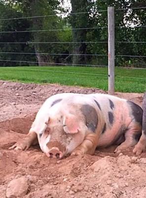 Spot Pigs