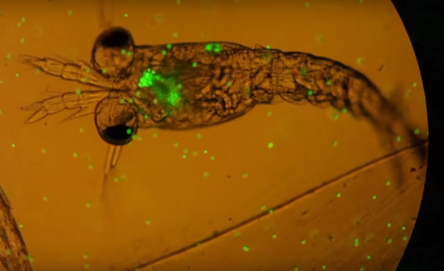Video beweist: Plankton frisst Plastik